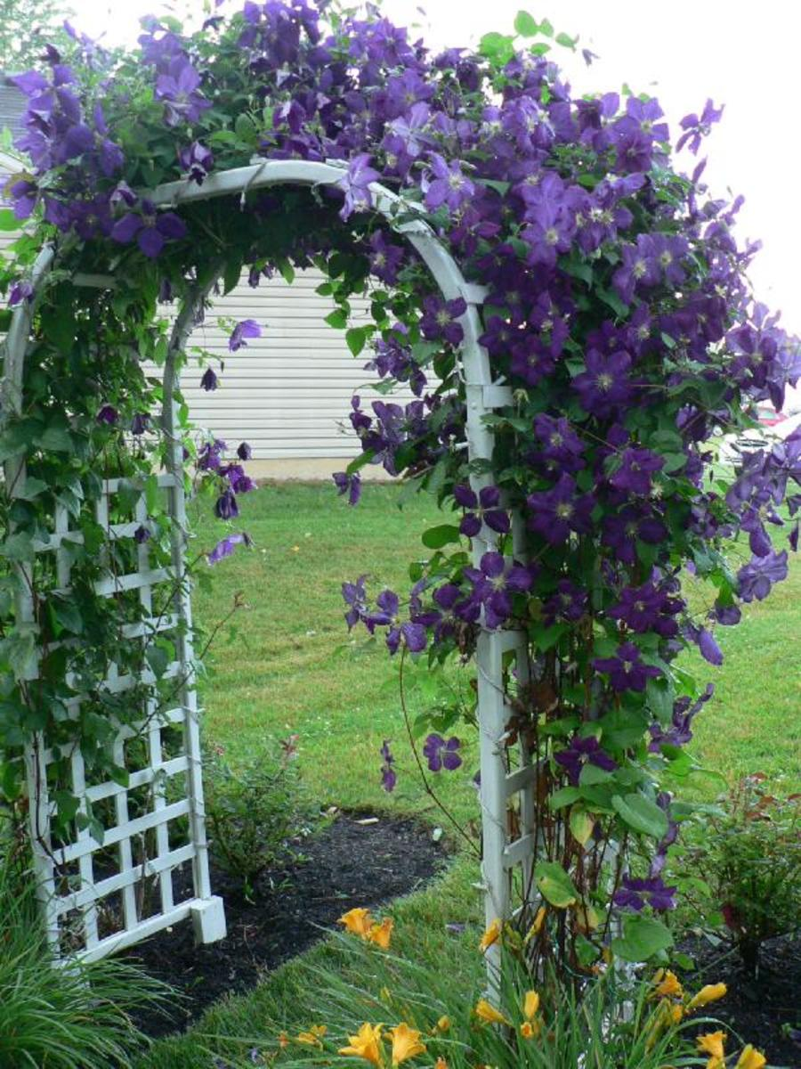 Clematis growing on an arbor