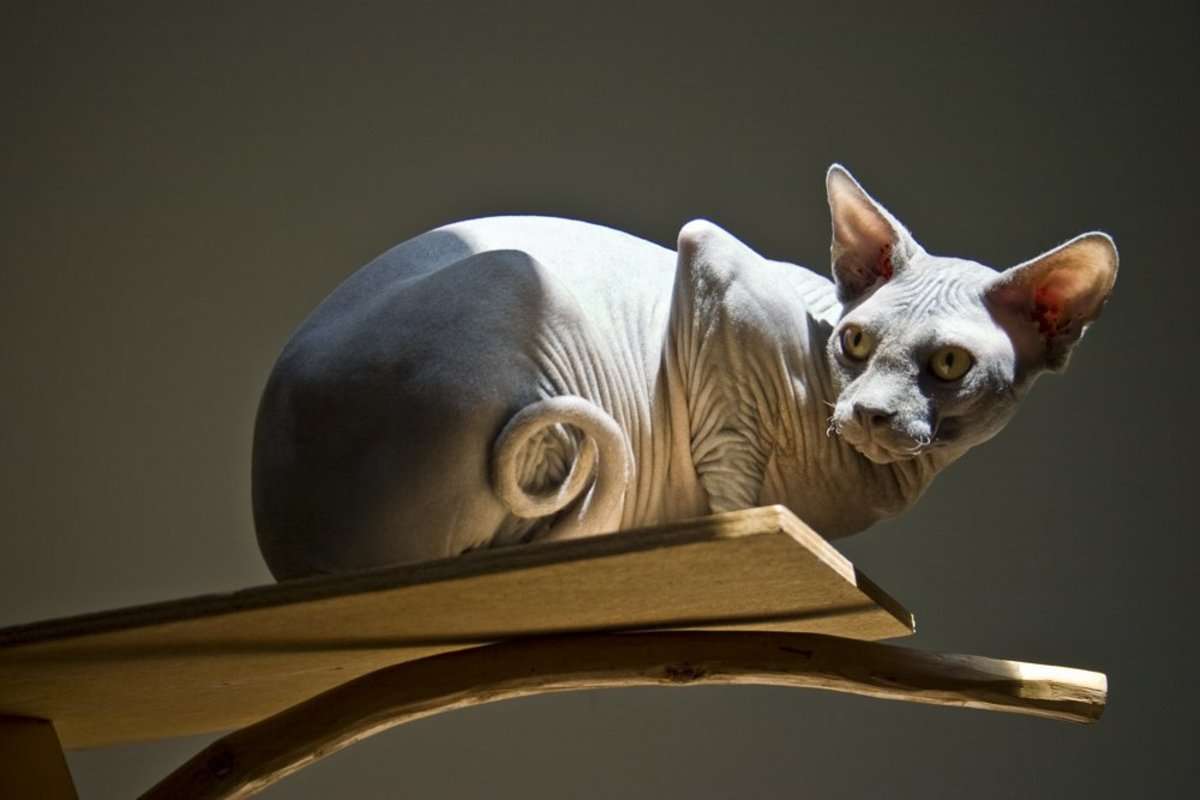 Sphynx Cats What You Should Know Before You Buy One Pethelpful