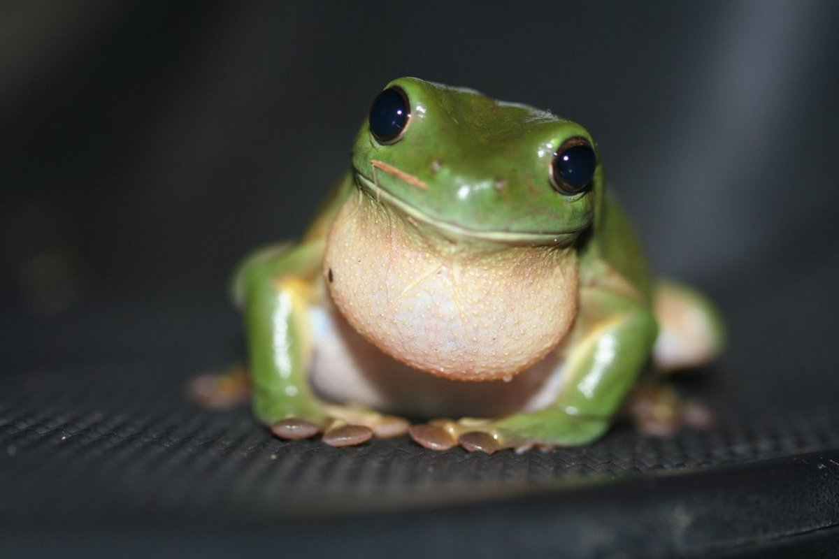 The green tree frog's features have been described as cartoon-like. Wouldn't you want to take care of this one?