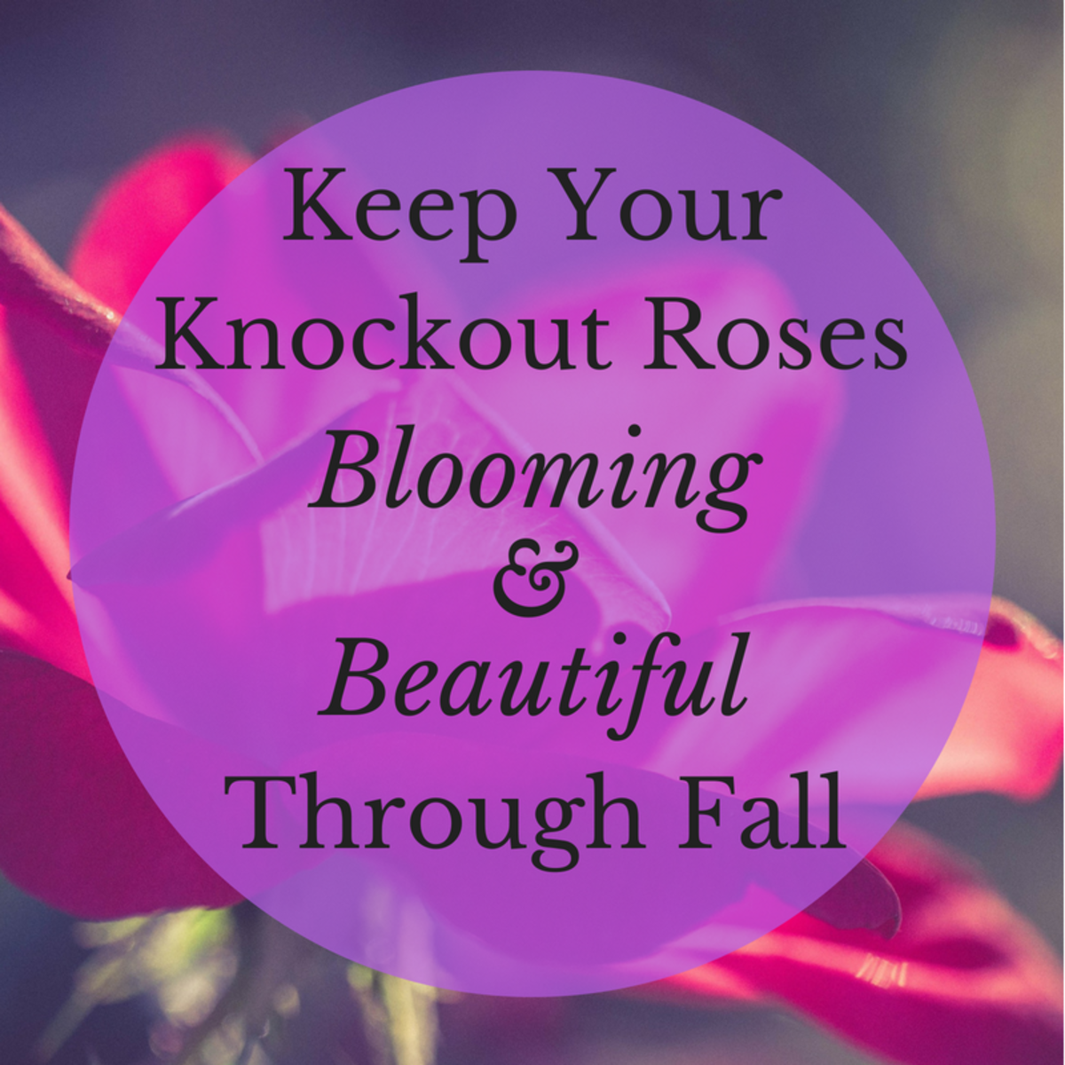 How to Keep Knockout Roses Blooming Through Fall