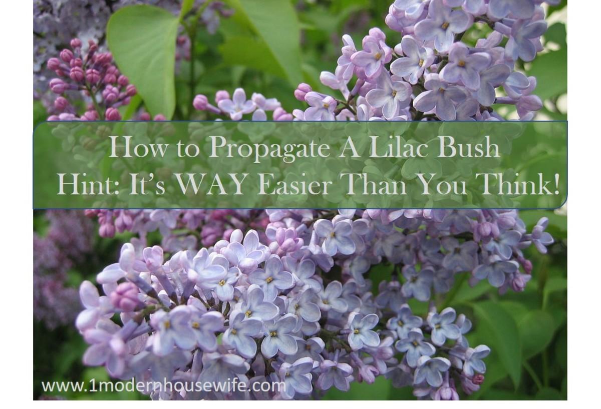 How to Propagate Lilac Bush