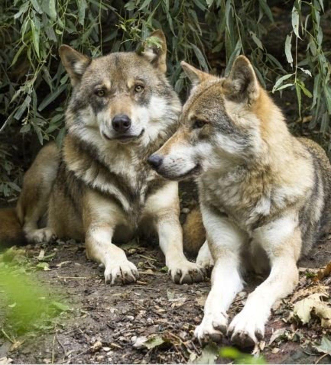 david mech u0026 39 s theory on the wolf alpha role