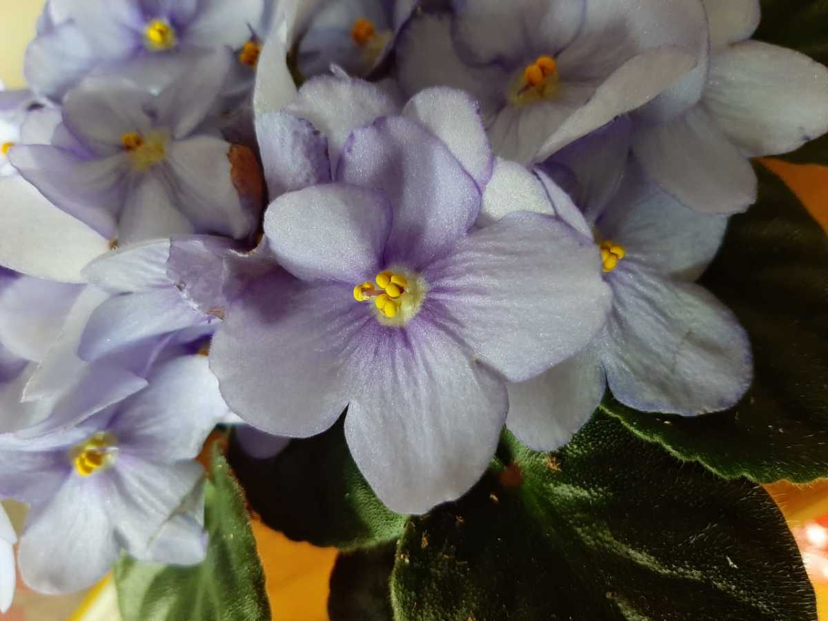 A blooming African violet