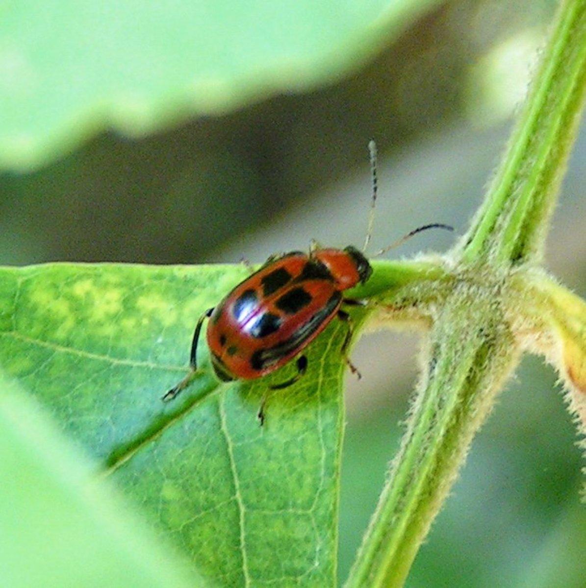 How to Get Rid of Bean Leaf Beetles