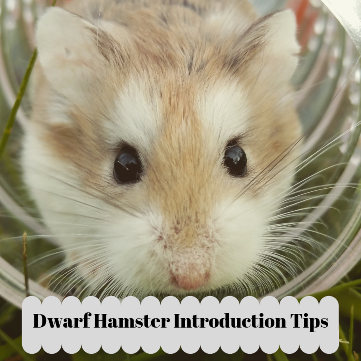 How to Introduce a New Dwarf Hamster into Your Current Hamster's