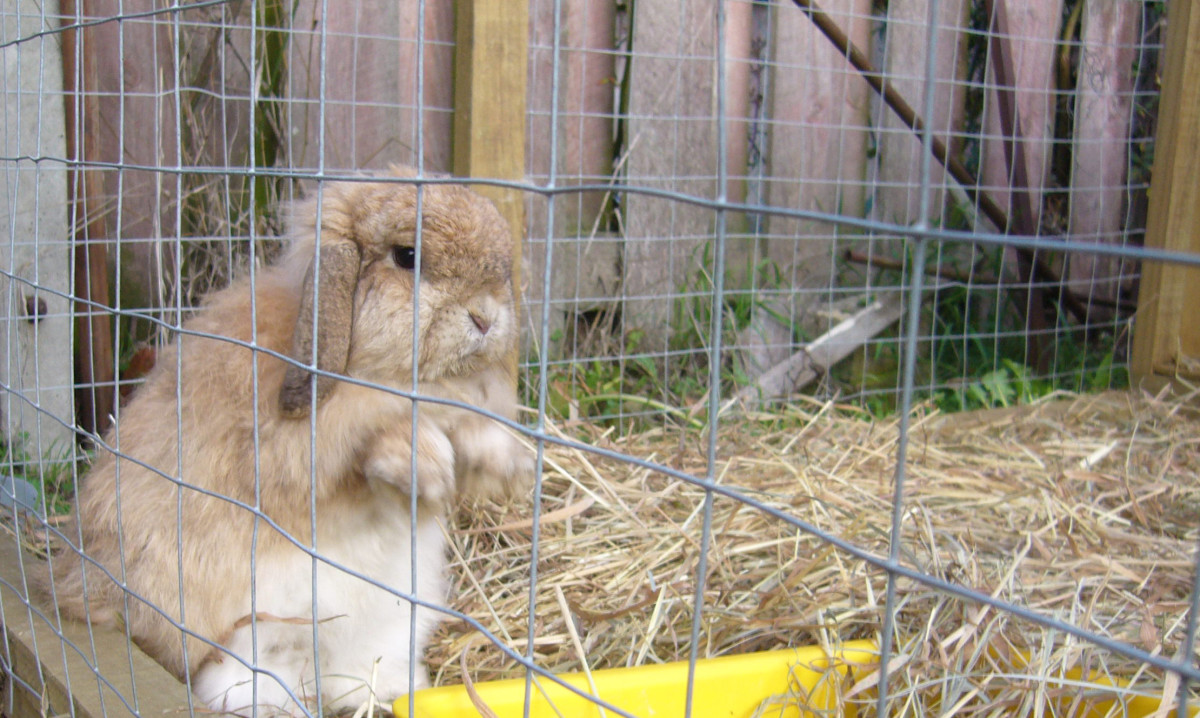 Wicket, my pet rabbit, does not enjoy being cooped up in her hutch.