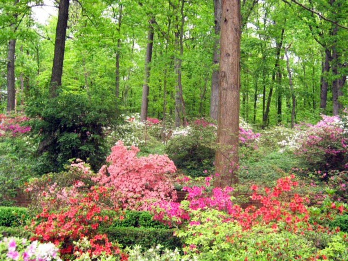 Azaleas blooming under trees at the US National Arboretum in Washington DC.