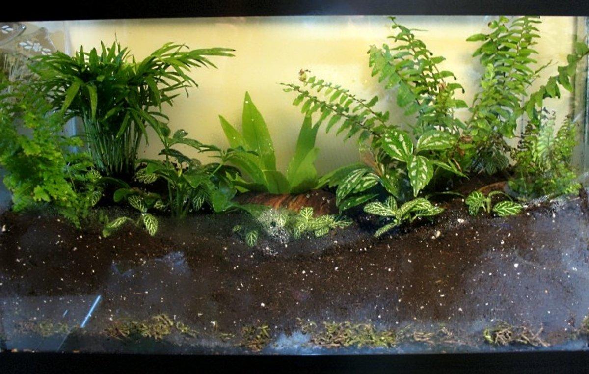 Epripremnum Njoy Live Tropical Vivarium Terrarium House Plant