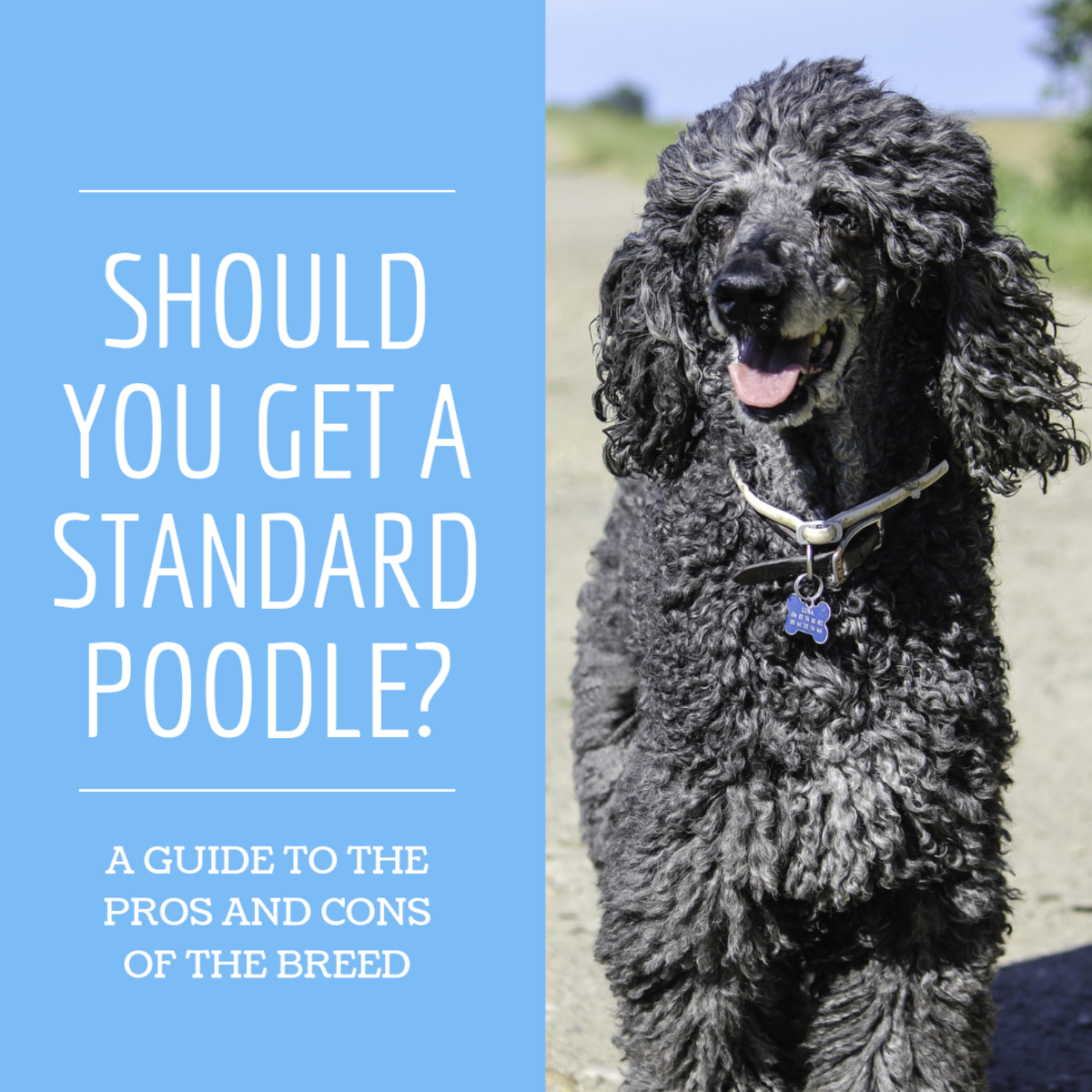 This guide will help you determine if a Standard Poodle is the right dog for you.