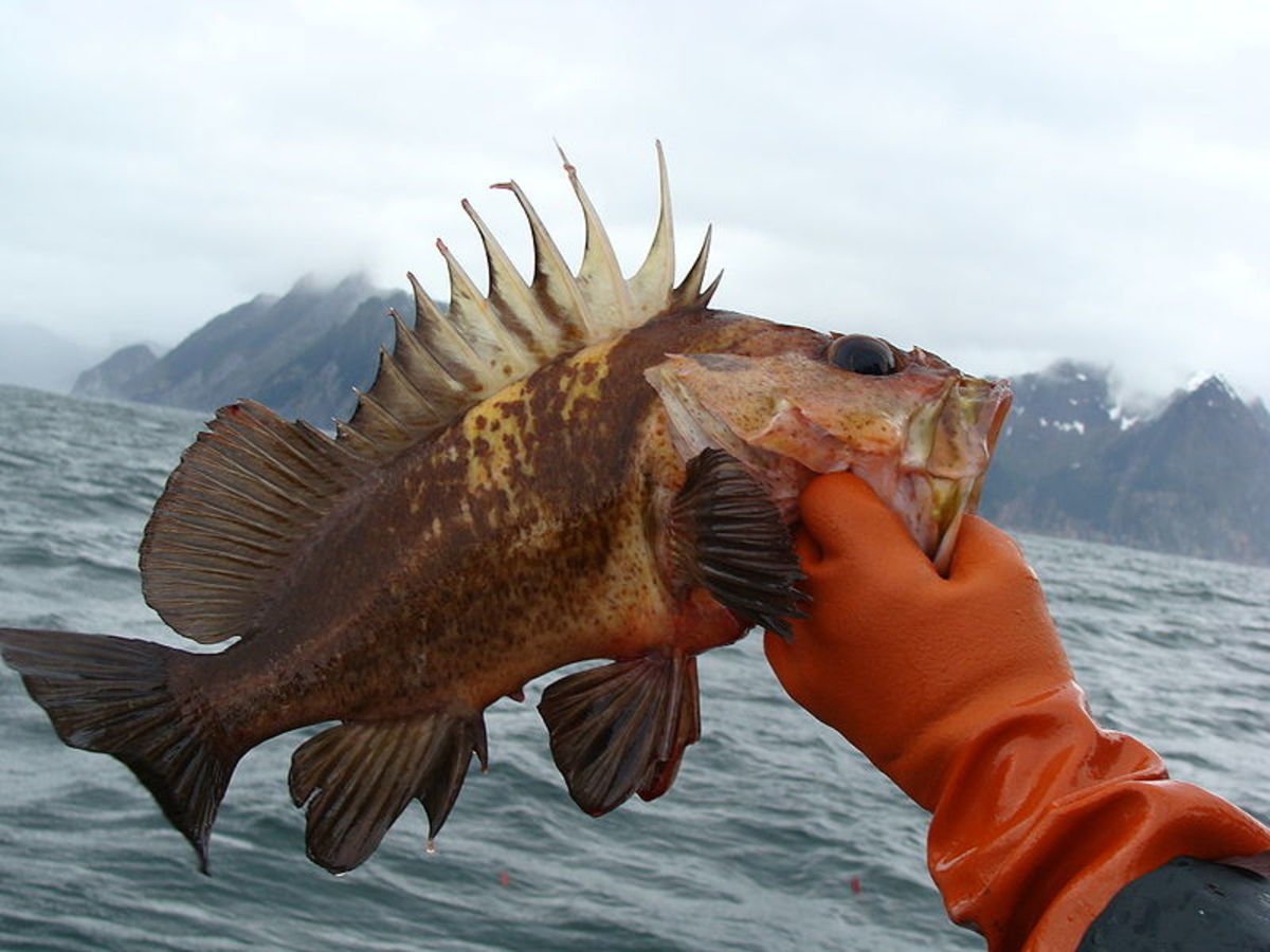 One type of rockfish. Aren't they interesting looking creatures?