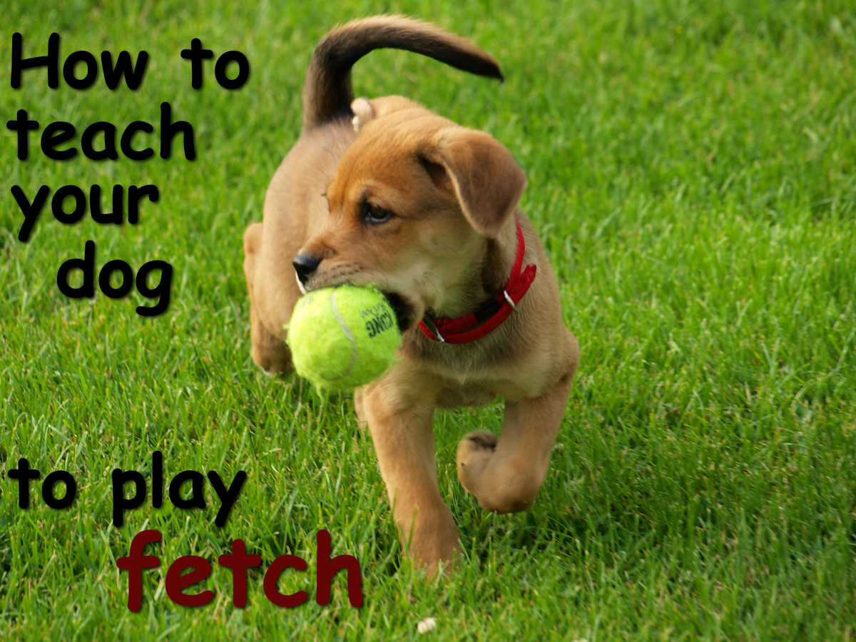A How To Guide About Teaching Your Dog Play Fetch