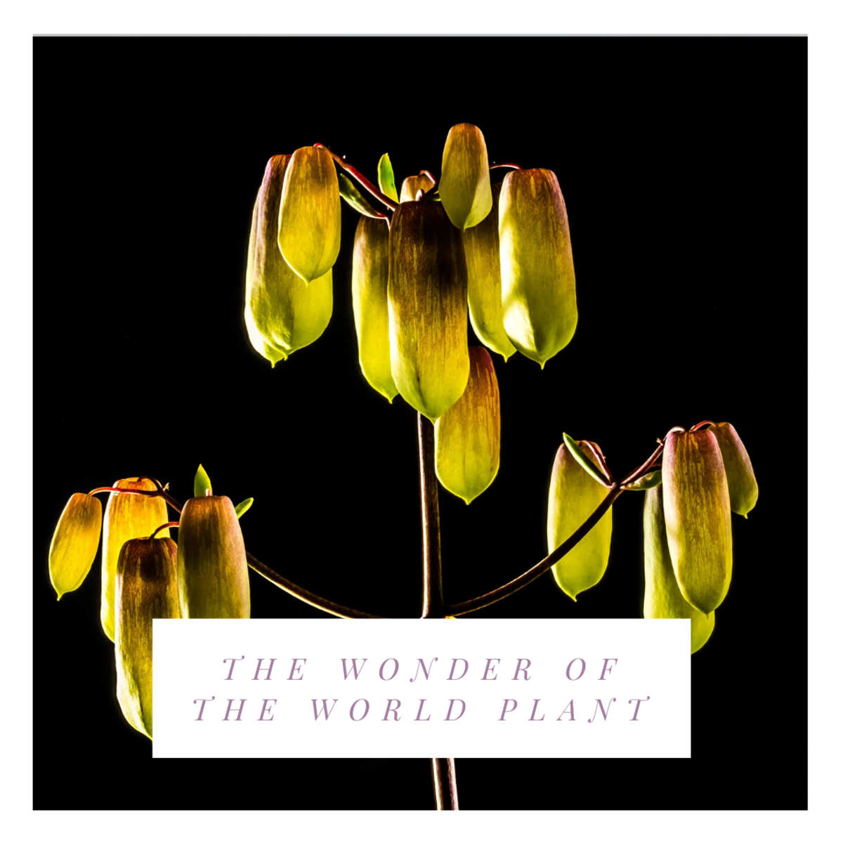 The Wonder of the World Plant