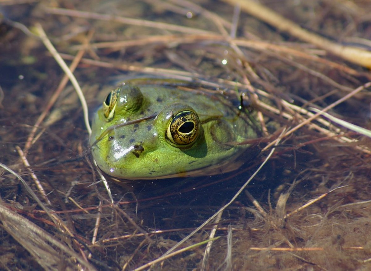 Backyard Frogs how to kill or get rid of frogs and toads | dengarden