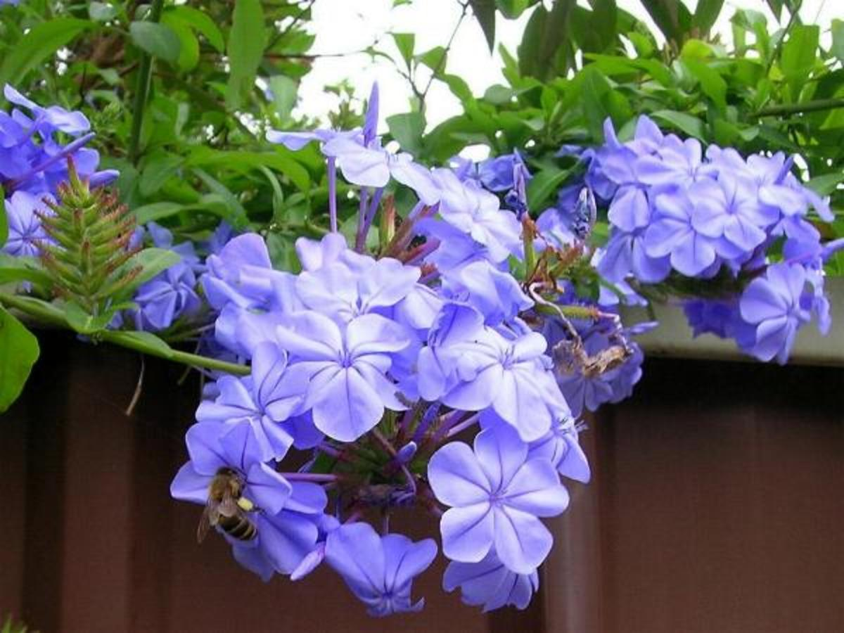 How to Care for Your Plumbago Auriculata