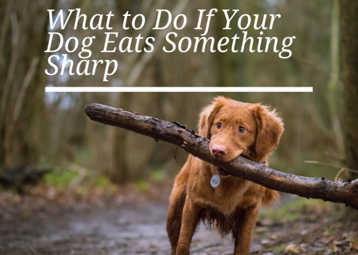 What to Do If a Dog Eats Something Sharp