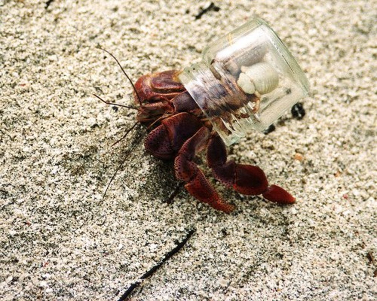 This misguided hermit crab chose a small glass jar as its shell.