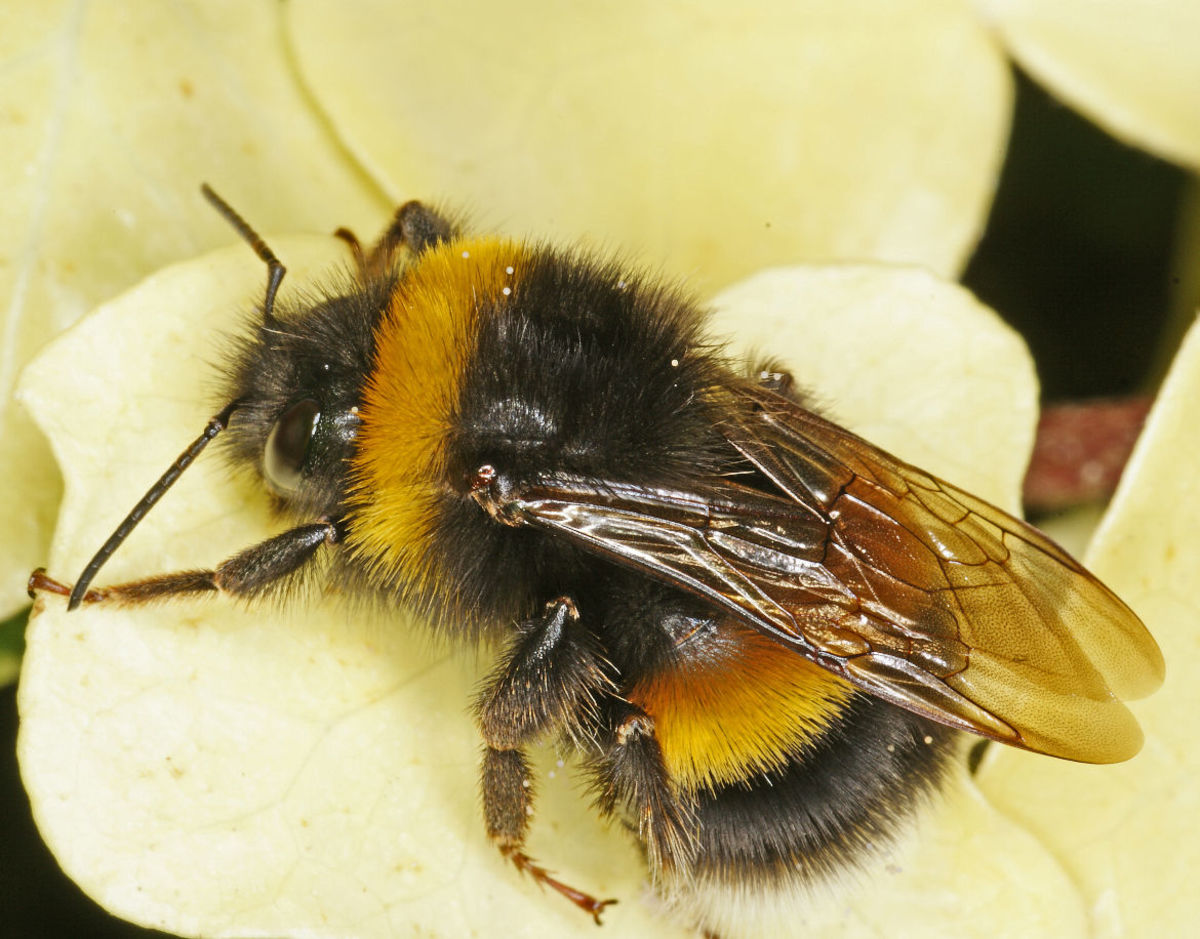 How To Treat a Bee Sting Naturally