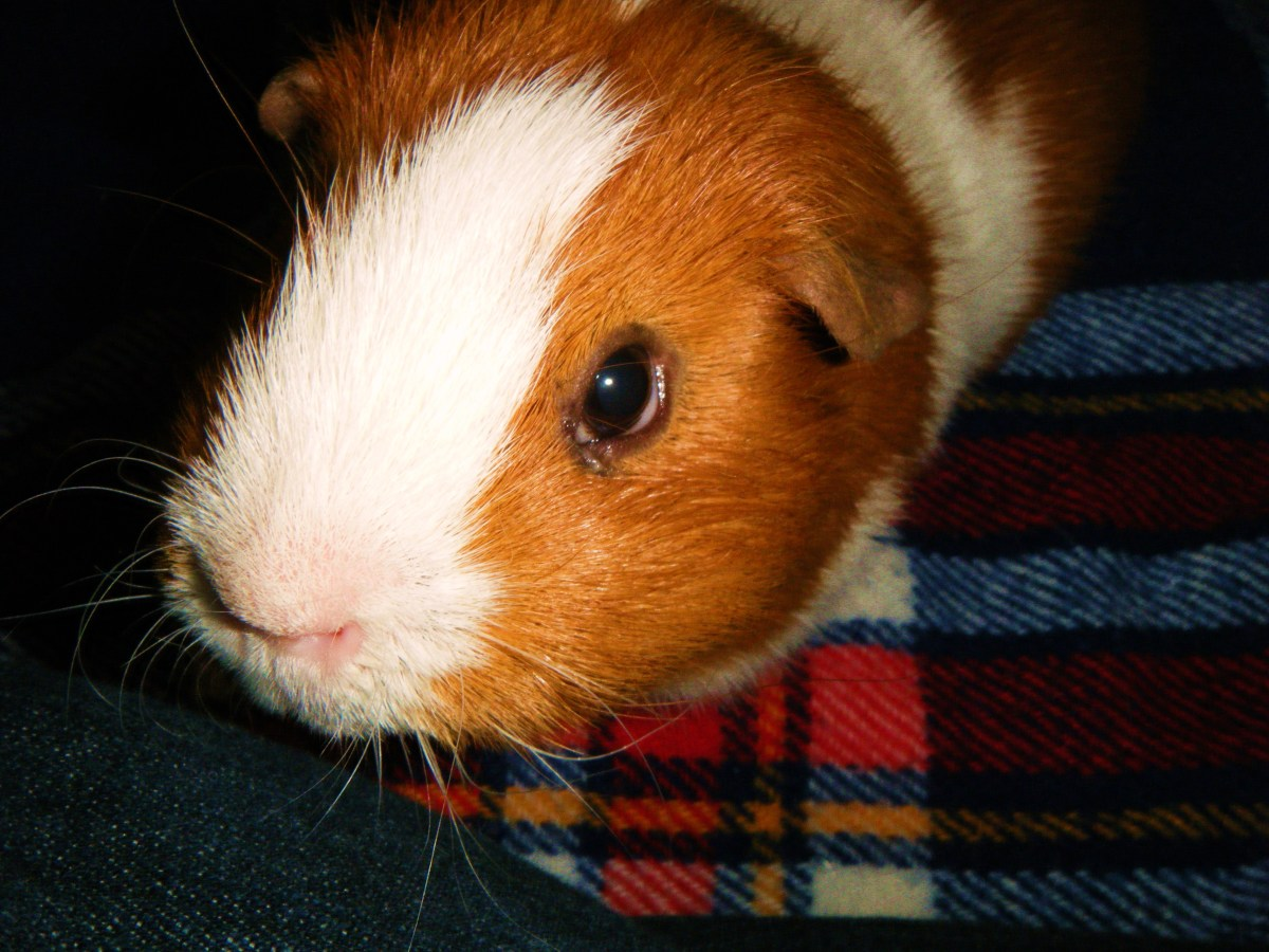 What Foods Are Good And Bad For Guinea Pigs