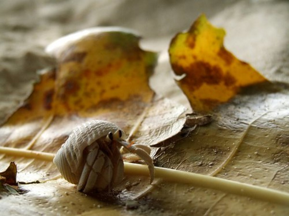 A land hermit crab exploring the underside of a fallen leaf