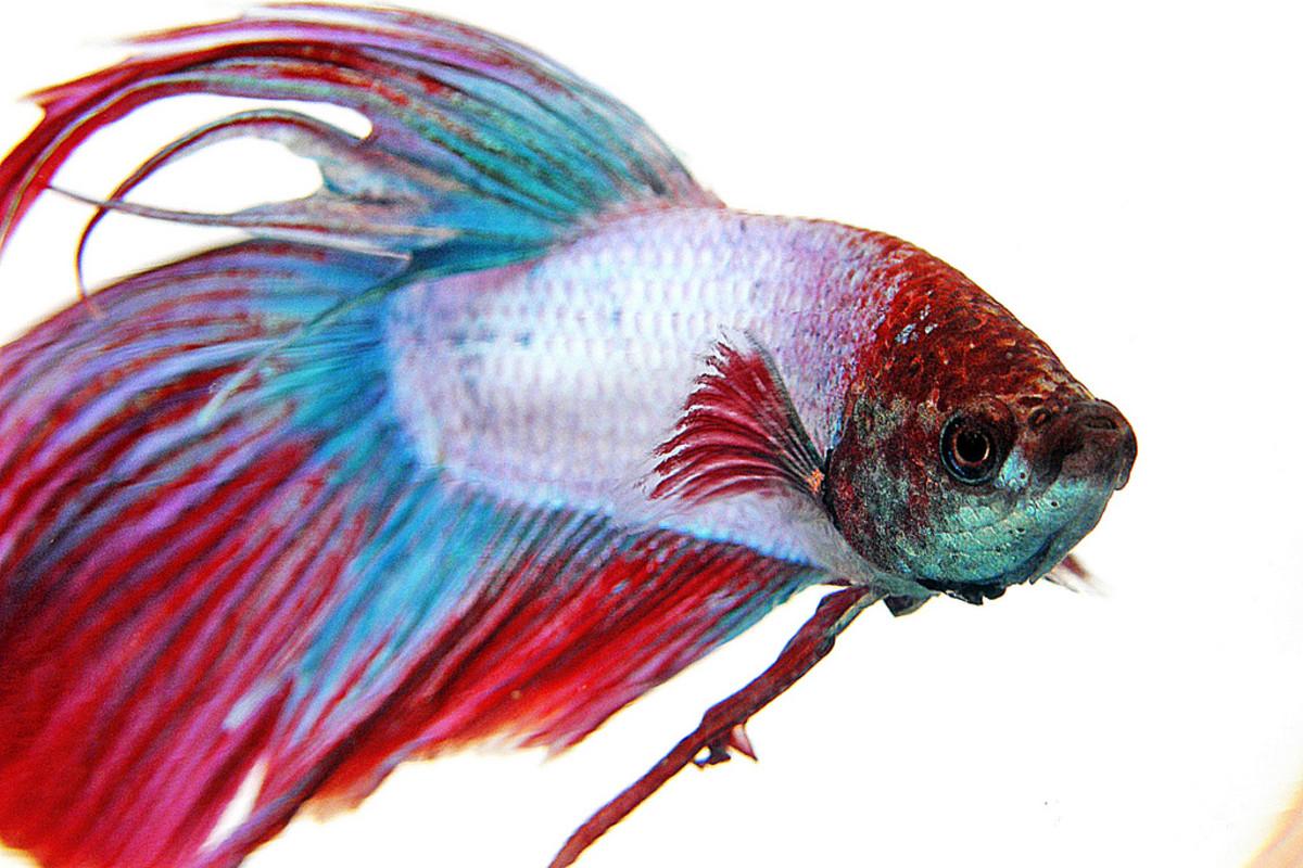 A betta fish.