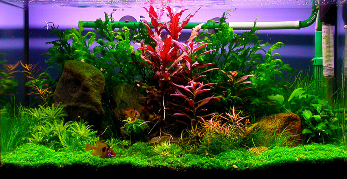Plants for Fish Tanks: Fake or Live?