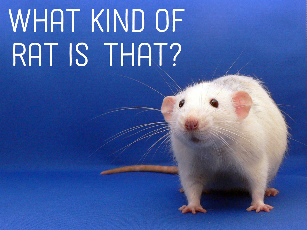 rats-and-their-types-colors-and-patterns