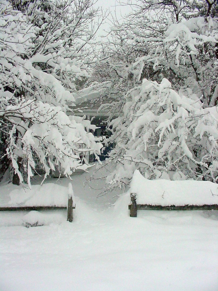 Trees Heavy With Snow