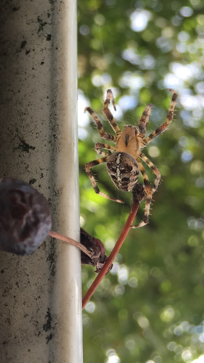 Araneus Diadematus: The One-Year Life Cycle of the Cross Orb Weaver Spider