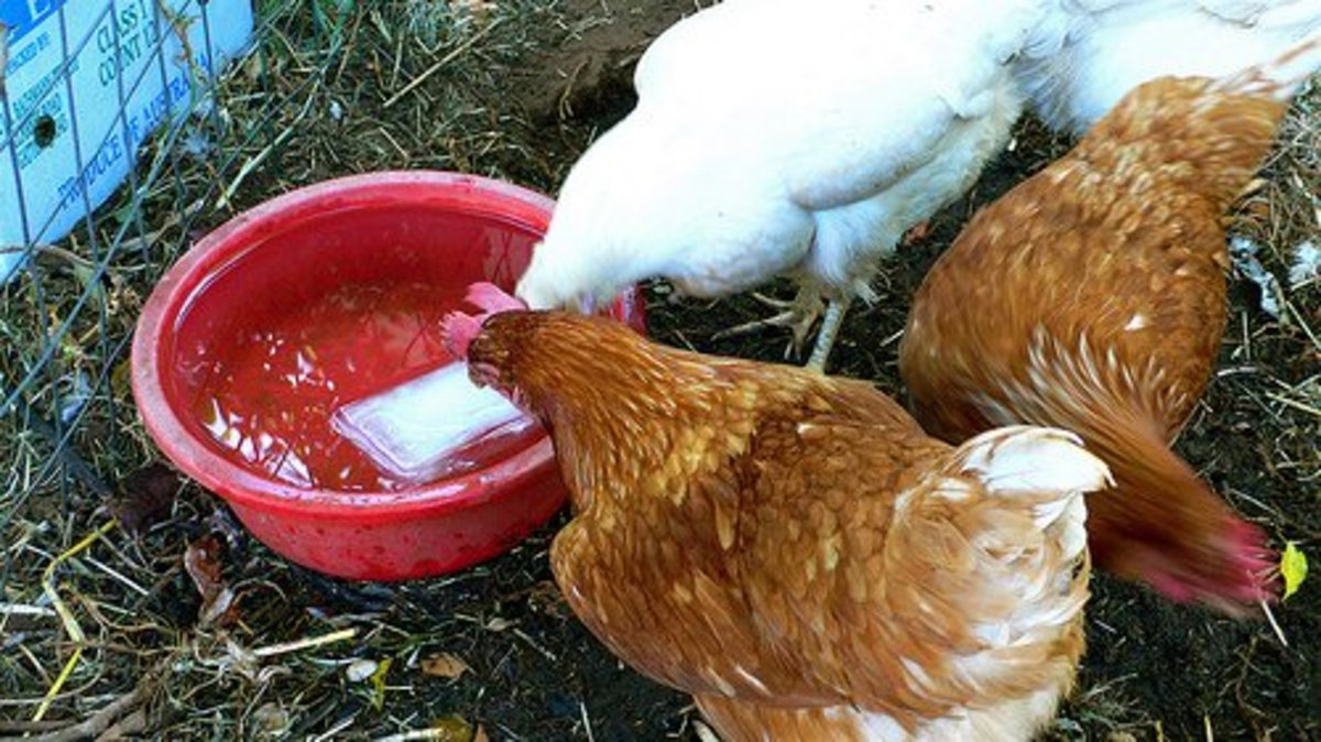 How Much Water Do Chickens Need to Drink Per Day?