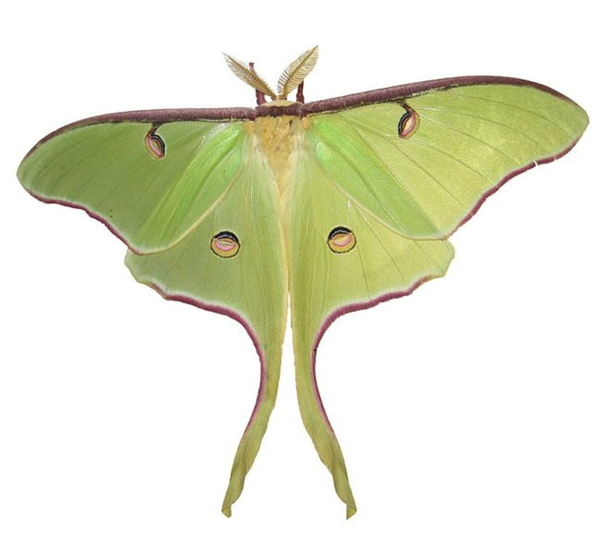 Some Interesting Facts about the Luna Moth in the U.S.