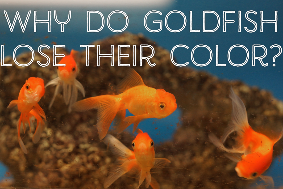 If you bought your goldfish for its colour, you may be disappointed.