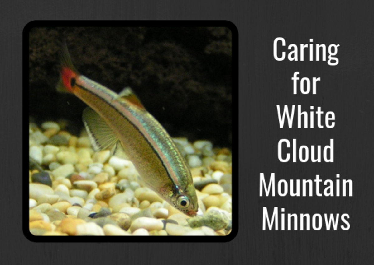 Fish Care: White Cloud Mountain Minnows