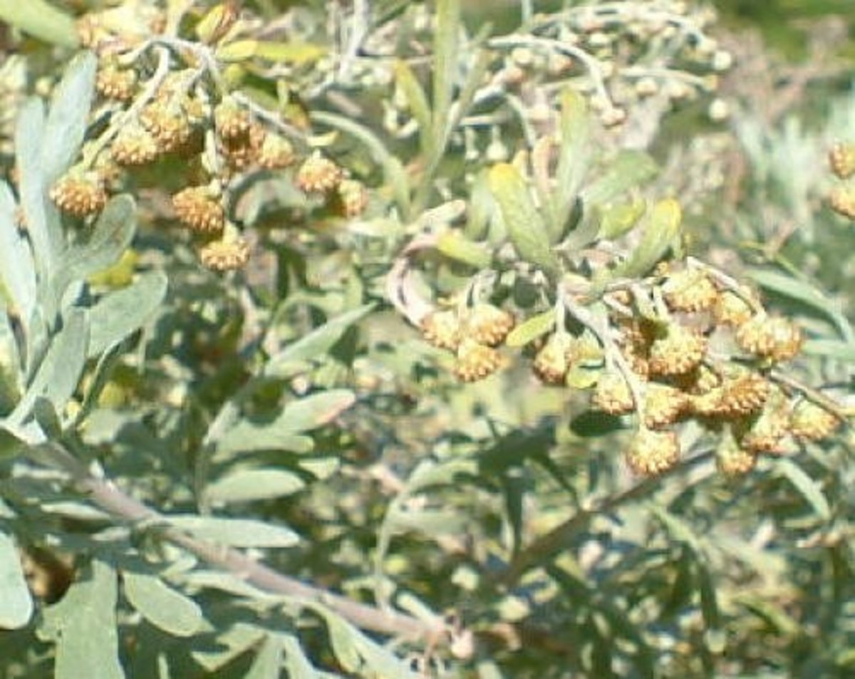 Artemesia canariensis Photo by Steve Andrews