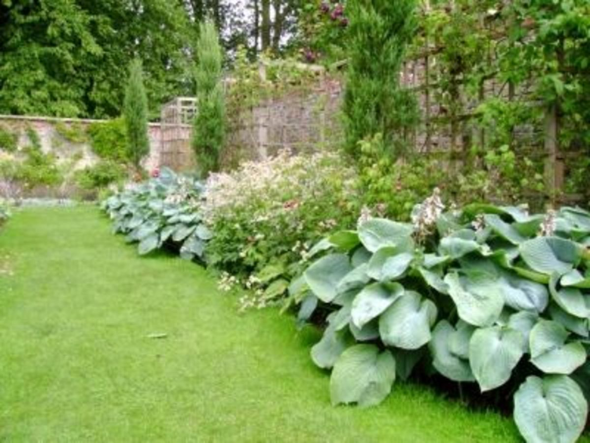 Beautiful Hosta Border In The Garden