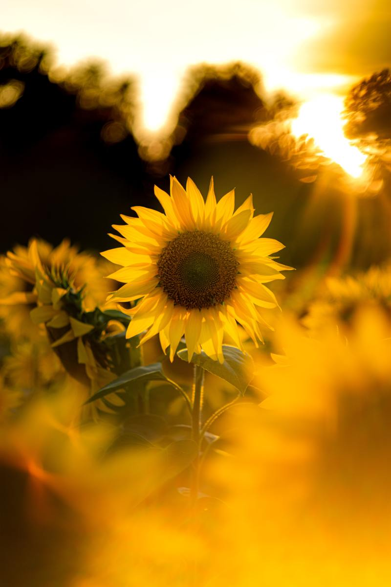 The Mysterious Secrets of Sunflower Tattoos