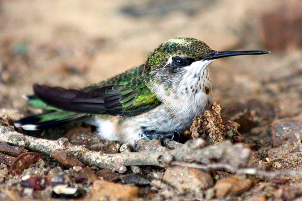 Unusual picture of a hummingbird sitting on the ground.