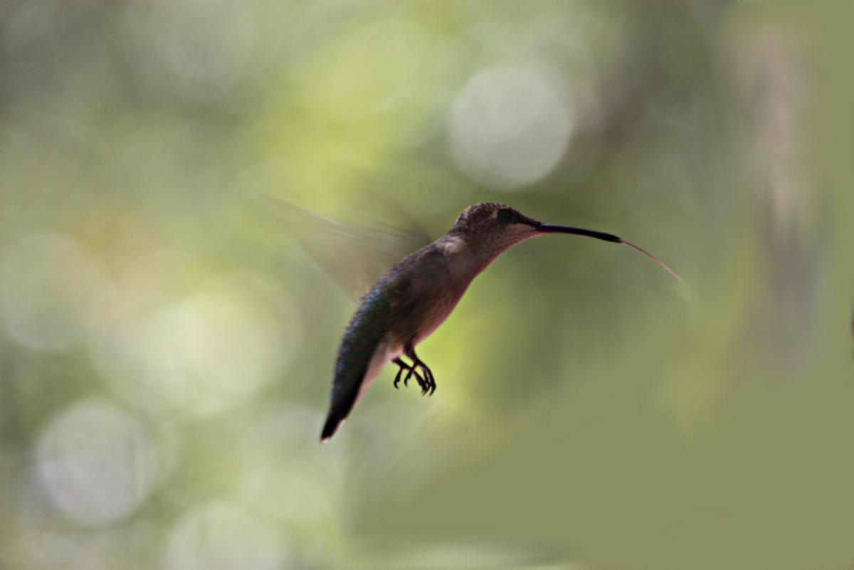 Hummingbird Showing His Tongue