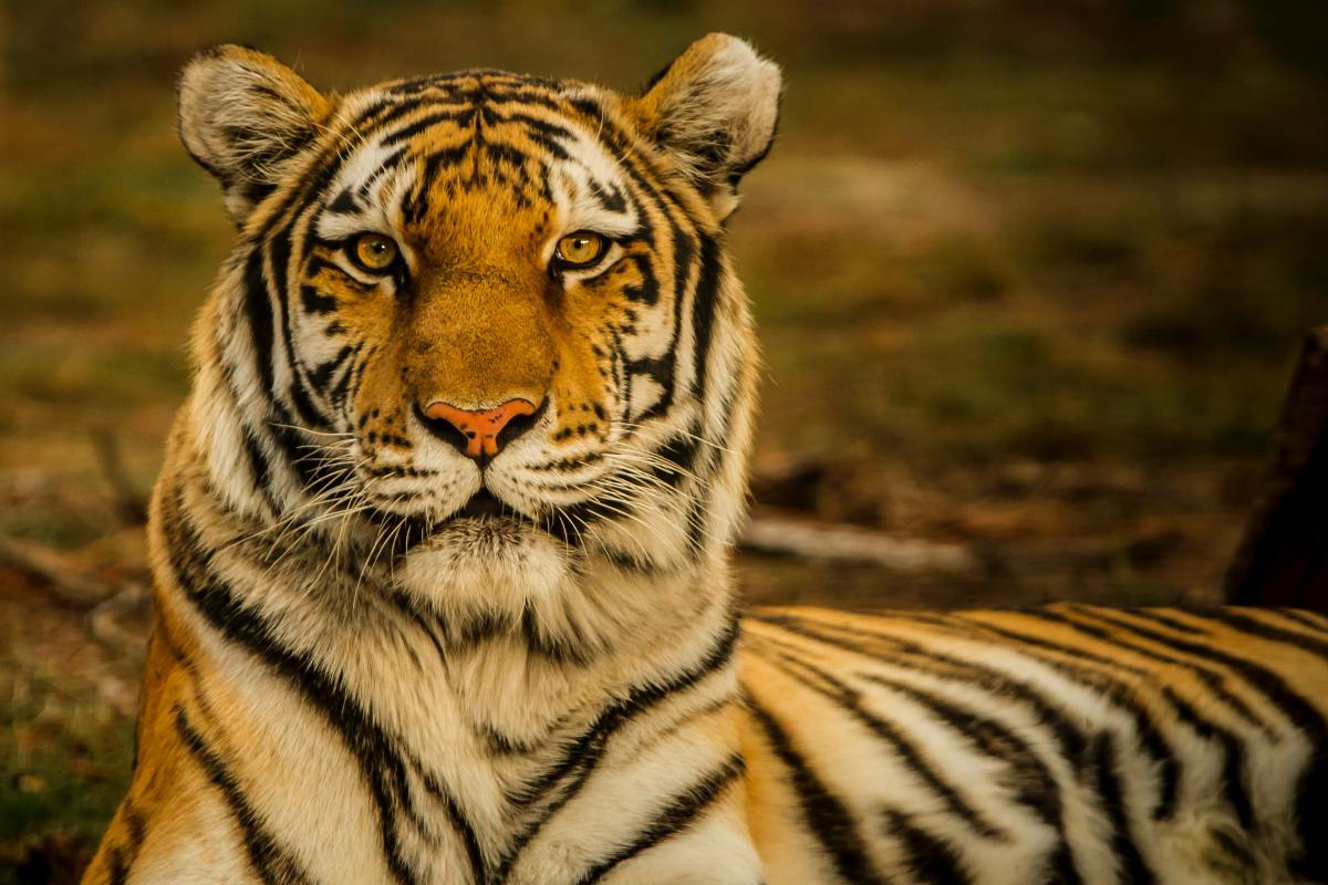 some-interesting-facts-about-tiger