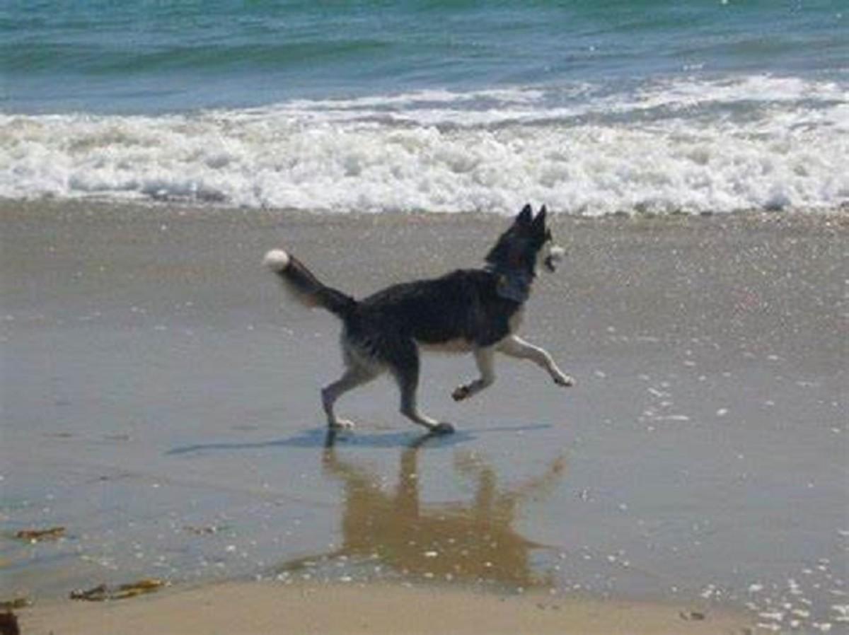 My husky Nikita :-) Dog Beach San Diego, CA | Dog beach ...