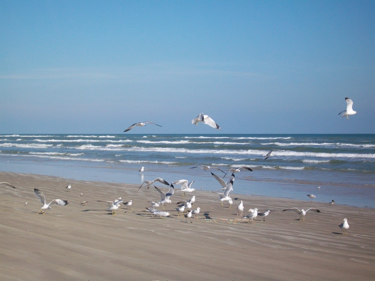 Seagulls hanging out along a Texas Coastline