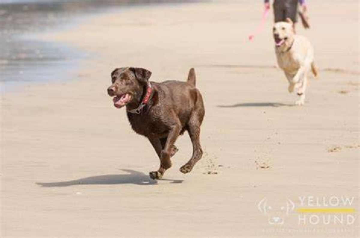 My chocolate labrador Coco chasing after a ball on the ...