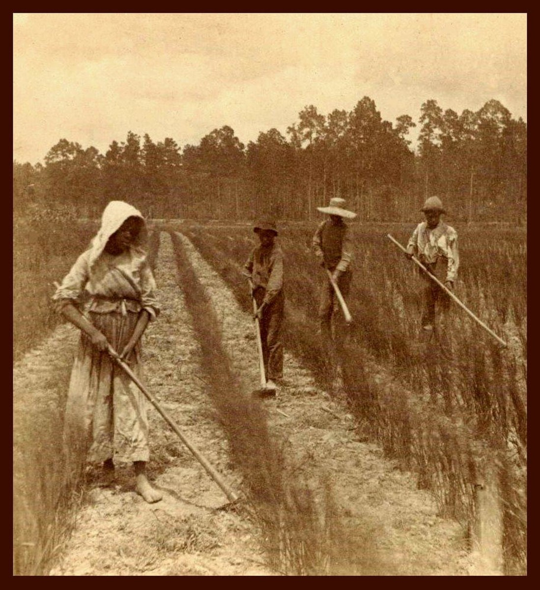 Barefoot slaves work a rice field.