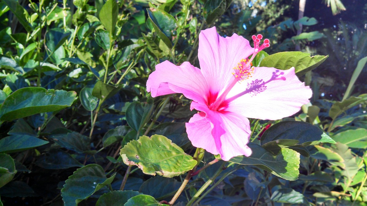 Hibiscus flower near Kailua Oahu