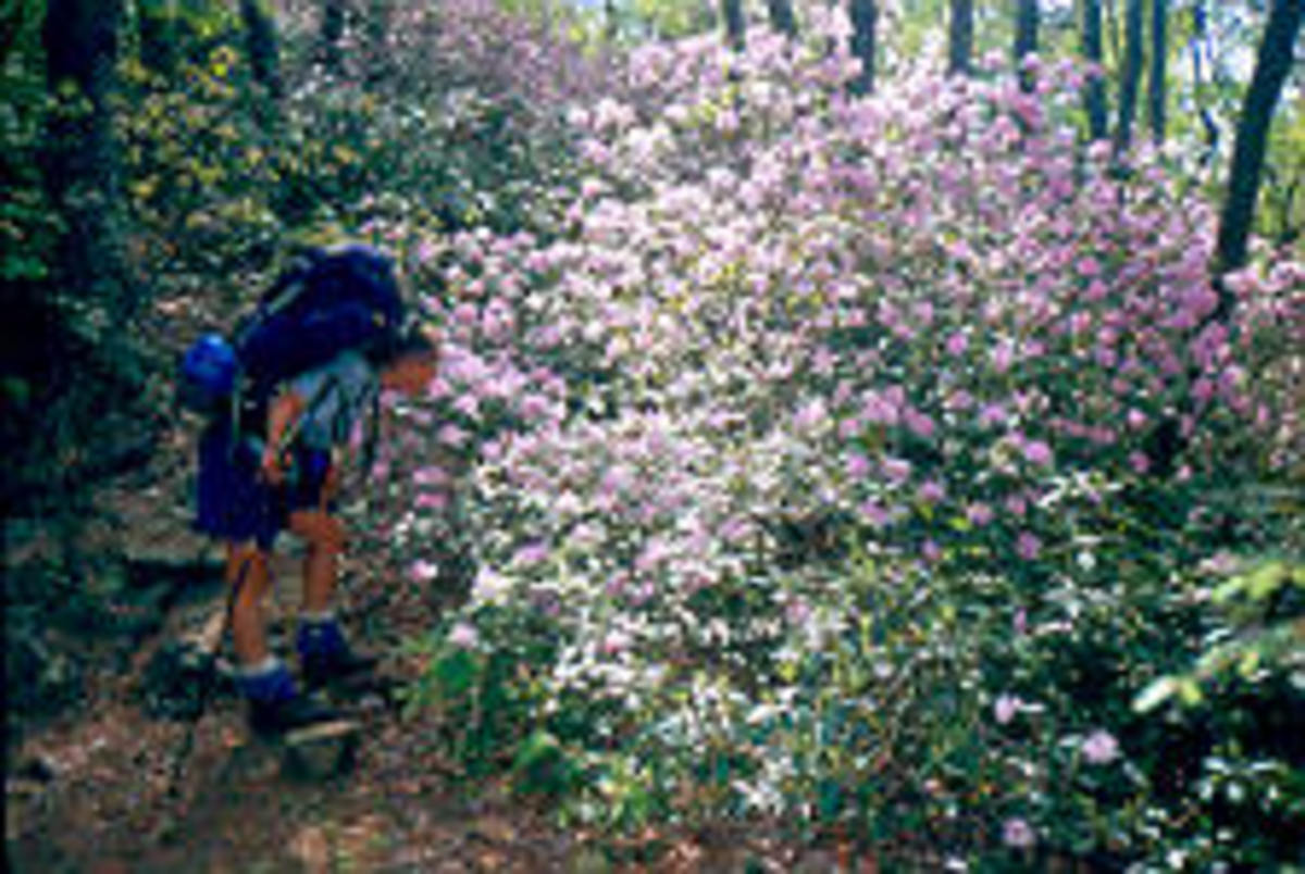 Stopping to smell the rhododendrons along the A.T.