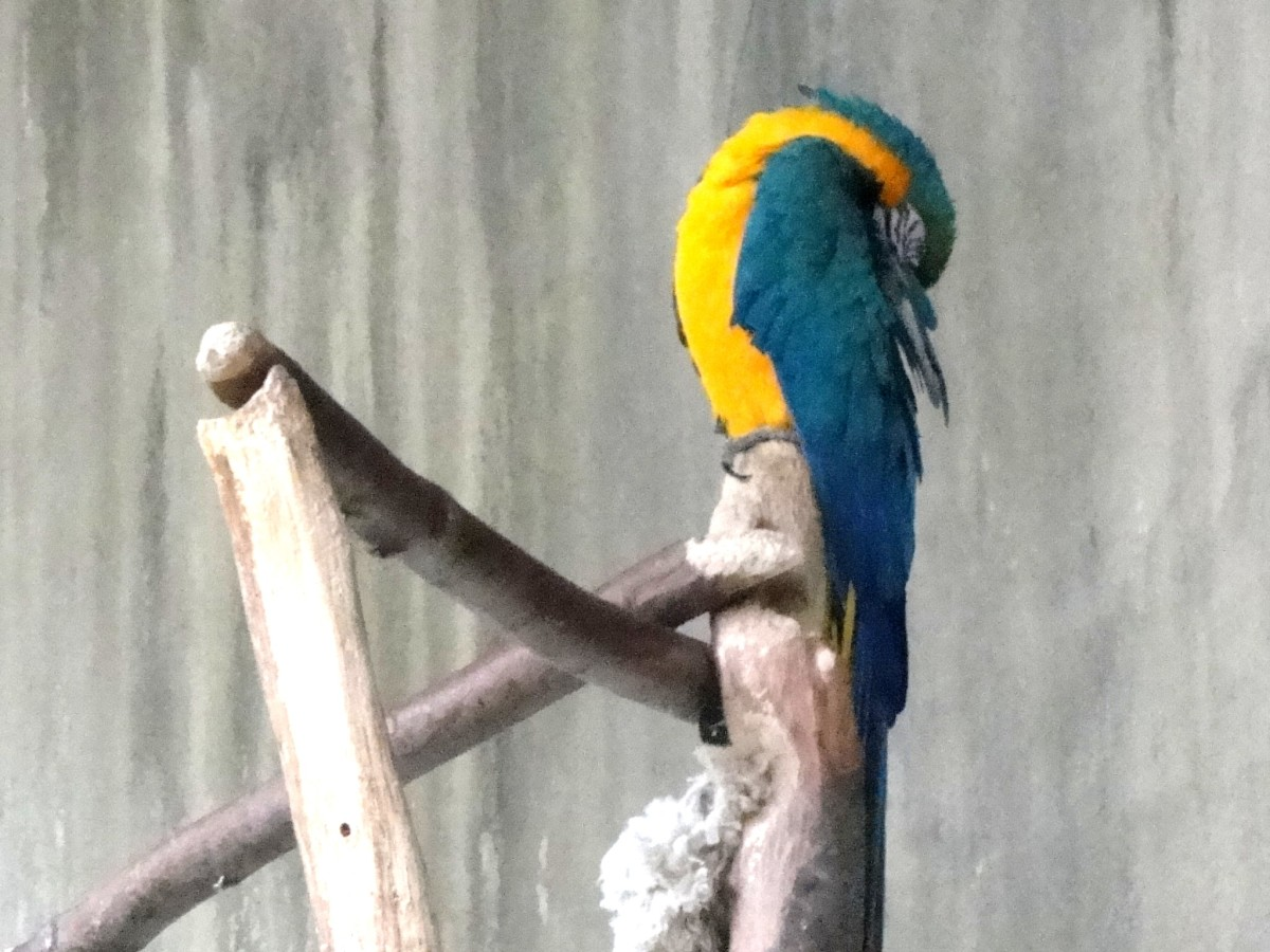Photo: Parrot Sleeping