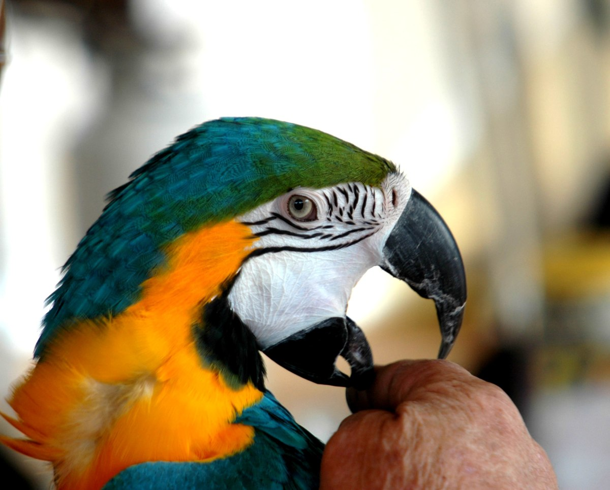 Photo: Macaw Biting a Finger