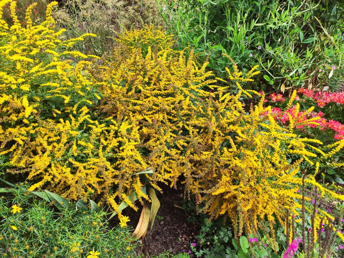 Solidago 'Little Lemon', a dwarf goldenrod, sports gorgeous yellow flowers that bloom straight into fall.