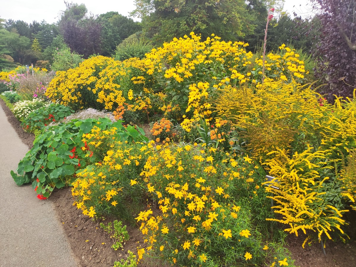Dwarf goldenrod, sneezeweed and coneflower come together to create a beautiful late-summer display of golden blooms.