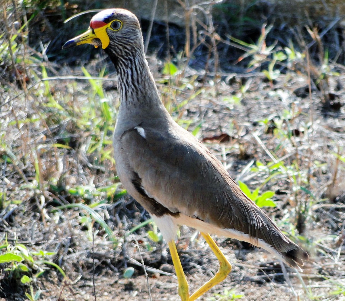 Not so common of the 500 birds -an African Wattled Plover
