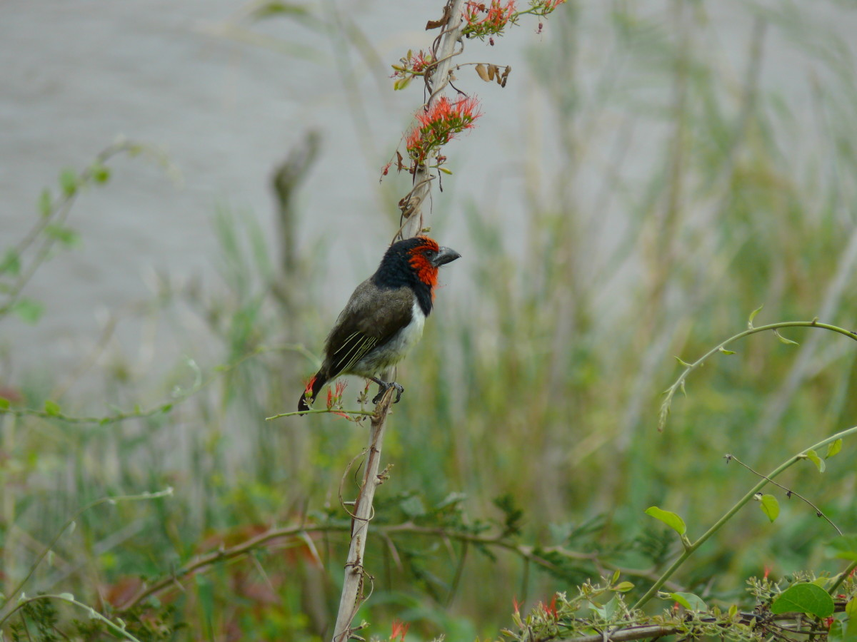 A Black Collared Barbet a common resident